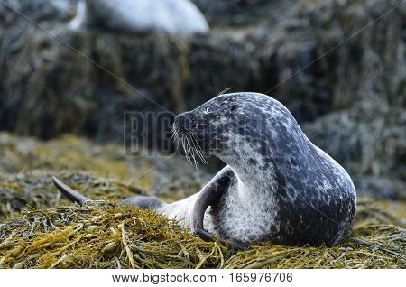 Amazing profile of a harbor seal on a bunch of seaweed.