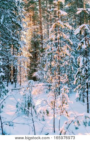 The rays of the sun making their way through the snow-covered branches of the pine trees in the winter forest in the early frosty morning.