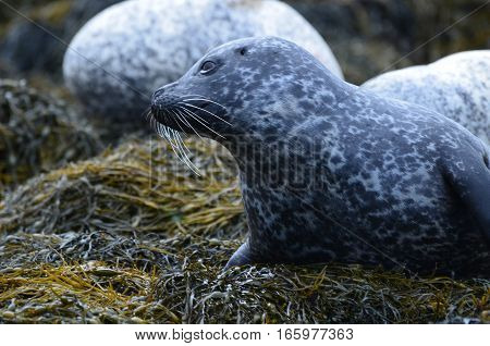 Long whiskers on a beautiful harbor seal.
