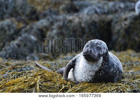 Harbor seal in Loch Dunvegan Scotland on seaweed