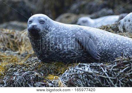 Harbor seal with long whiskers resting on a bed of seaweed.