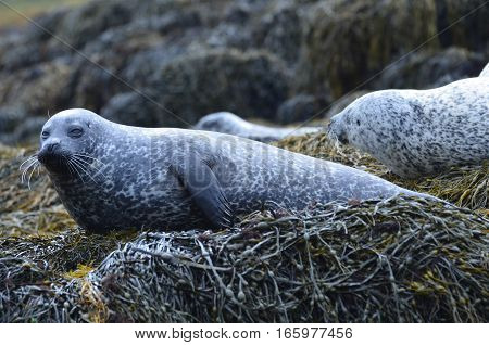 Group of seals all hauled out on a seaweed covered reef.