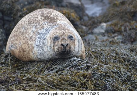 Harbor seal with a thick girth on seaweed.