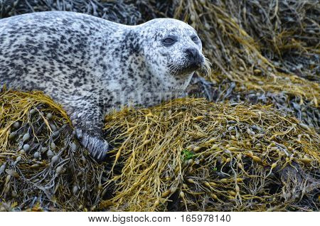 Harbor seal balancing on a bed of seaweed in Scotland.