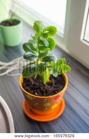 Kalanchoe without flowers in the orange pot on a window
