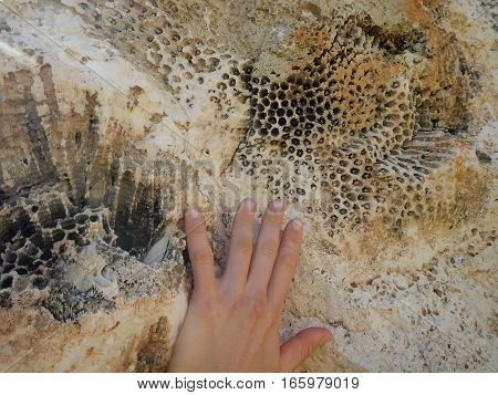 Fosil Sea Plant Printed In A Limestone