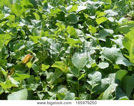 Pictures of organic and natural radish plants