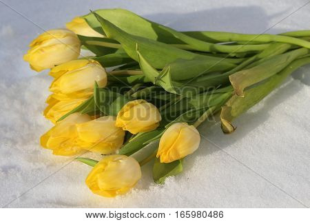 Yellow tulips in the snow / Valentine's day