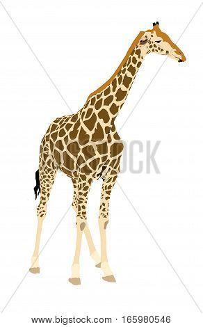 Illustration Wilde Tiere - Giraffe 3