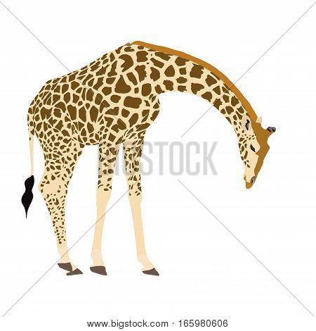 Illustration Wilde Tiere - Giraffe 2