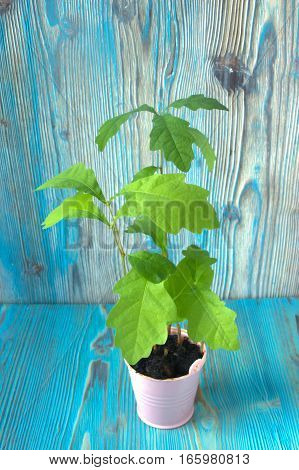Young plant of oak seedling from acorn in small pink plastic pot on wooden background. Soft selective focus rustic background
