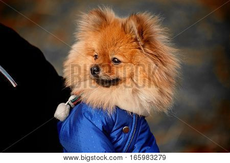 The wistful , Fluffy pomerian spitz , dog , puppy in the blue dress , pullover , sweater with white scarf is sitting on a hand in dark colours , tones