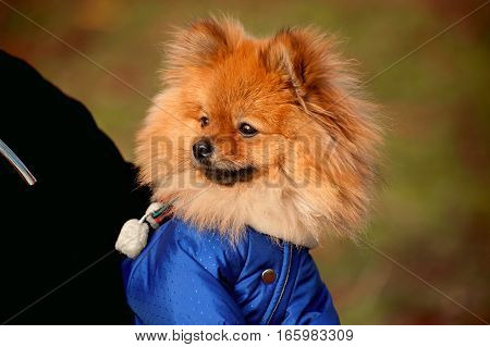 The wistful , Fluffy pomerian spitz ,dog , puppy in the blue dress , pullover , sweater with white scarf is sitting on a hand
