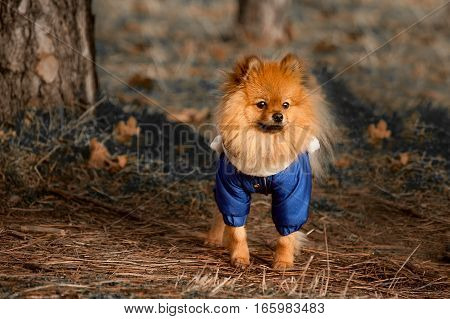 The Furry , Fluffy pomerian spitz , dog , puppy in the blue dress , pullover , sweater with white scarf is staying into the magic , mysterious forest