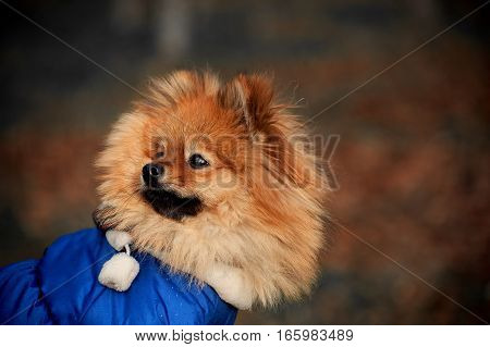 The mysterious, Fluffy pomerian spitz ,dog ,puppy in the blue dress ,pullover , sweater is looking to the left in dark colourstone
