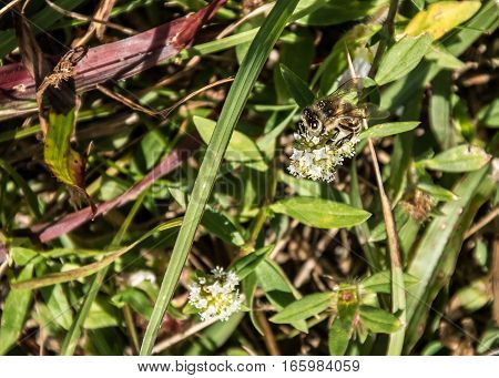 HONEY BEE ON A WHITE WILD FLOWER IN THE GRASS