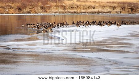 Large flock of Canadian Geese standing on the rivers ice.