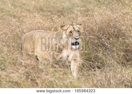 African lioness walk through tall grass Kenya