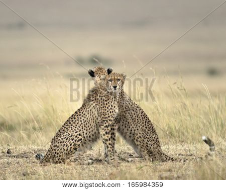 Two adult cheetahs looking in opposite directions to get full view of the surrounding savannah Masai Mara National Reserve Kenya East Africa