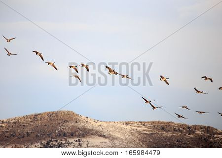Large flock of Canadian Geese flying in the air.