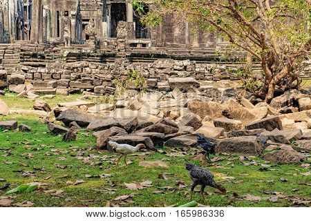 Asian Hen looking for food in the courtyard of the Prasat Bayon the central temple of Angkor Thom Complex, Cambodia. Ancient Khmer architecture and famous Cambodian landmark World Heritage.