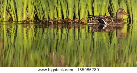 Family of mallard who swims peacefully on a summer day !