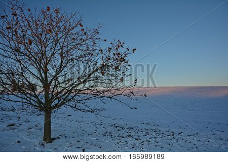 Chestnuts - tree (Quercoideae) in the evening light with snow and field field