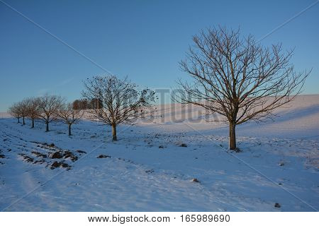 Trees in the evening light with snow and field
