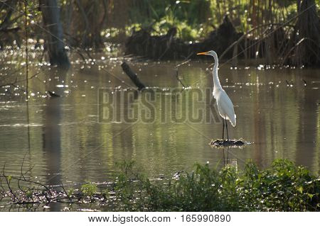 A white heron stands upright with neck straight on a piece of wood in a pond reflecting the green colors all around it. Early morning sun is behind it and illuminates its orange beak and white feathers from behind.