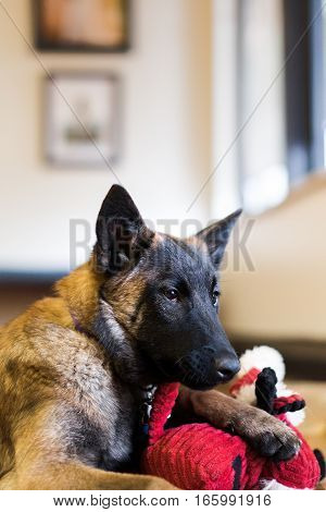 One male family pet Belgian Malinois puppy inside on hardwood floor with red dog toy