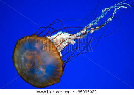 Jellyfish on blue background, close up, detail