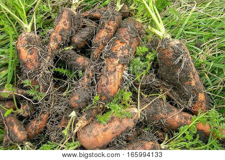 dirty orange carrot roots on green grass