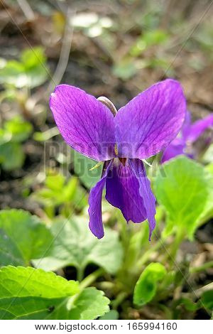 Petals violet flower and green leaves macro