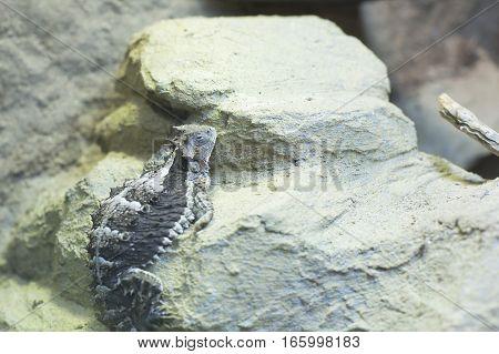 Lone horned lizard climbing along dry rocks