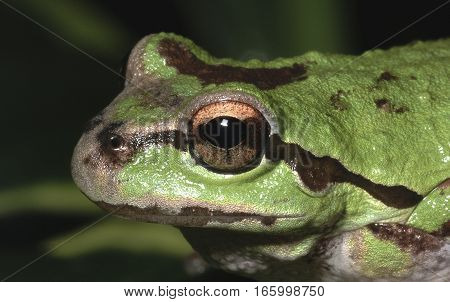Close-up of the eye of an Oregon tree frog