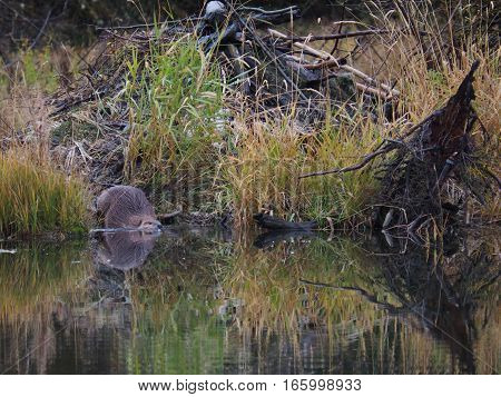 A beaver and its reflected image in a pond