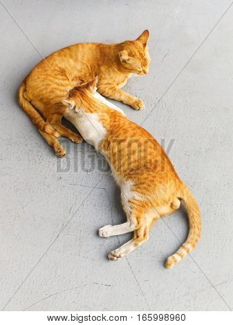 The lovely orange color of cat playing with themselves.