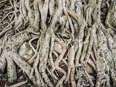 Roots of trees growing on the wall of Fasilida's pool enclosure in Gondar Ethiopia. poster