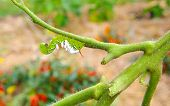 Unhappy Tobacco/Tomato Horn Worm as host to parasitic braconid wasp eggs on a Devoured Tomato Plant. poster
