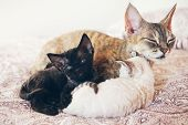 Mum cat with her kittens. Love and tenderness. Big gray cat and small kittens sleeping together, hugging each other.  Cute cats, family. Devon Rex curly cats breed poster