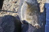 Close up of Collared peccary (Pecari tajacu) in the winter. In Zagreb Zoo, Croatia. poster