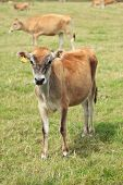 Young curious Jersey cow grazing with herd in a meadow poster
