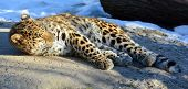 The Amur leopard is a leopard subspecies native to the Primorye region of southeastern Russia and the Jilin Province of northeast China. It is listed as Critically Endangered on the IUCN Red List. poster