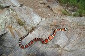 A brightly colored mountain kingsnake is seen out on the crawl on an Arizona mountain. poster