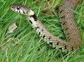 A grass snake moving through the grass with its head held high poster