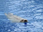 a harbor seal (phoca vitulina) swimming in blue water poster