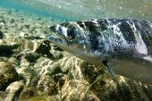 Unique shot of the atlantic salmon in its natural habitat poster