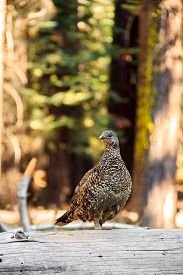 Sooty Grouse on the way to Glacier Point in Yosemite National Park