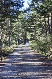 Long walk through the pine forest in a sunny morning.