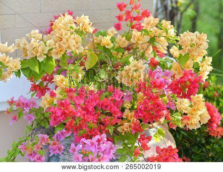 Bush of multi-color in one Bougainvillea or Primavera flower tree poster